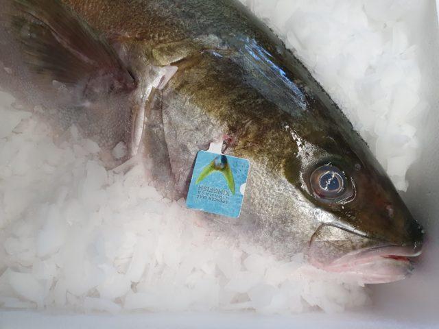 Hiramasa Kingfisch